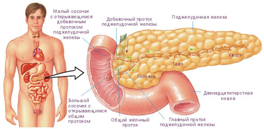 Строение и анатомия поджелудочной железы