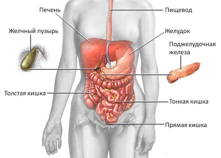 Проекции внутренних органов брюшной полости